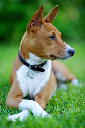 Photo dog sitting on the grass. Basenji looks away. Front view.