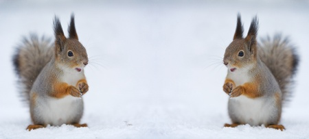 Two surprised and joyful squirrels. Space for the text or other object between them. Winter nature background.