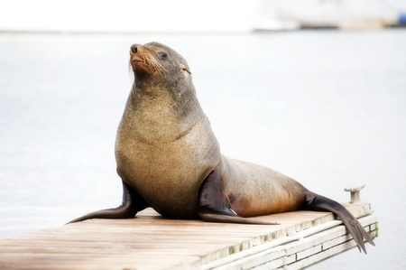 famale: Walrus sits on the bridge, looking into the camera and smiles. Stock Photo