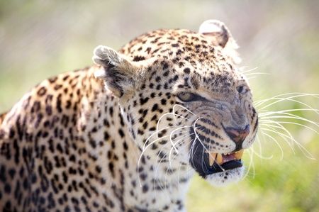 Image of leopard growls, shows a teeth. photo