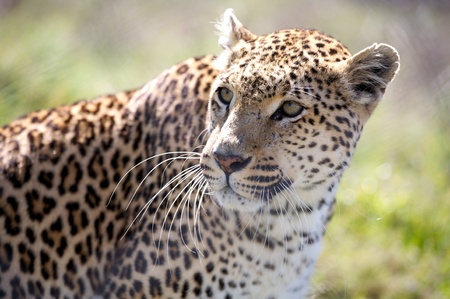 Image of leopard. photo