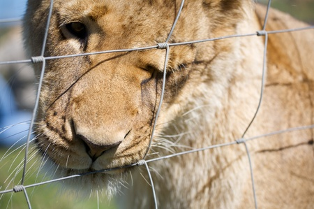 Lioness behind bars in a National park of  South Africa