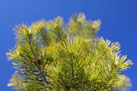 boughs: Nature background of the pine boughs close-up.