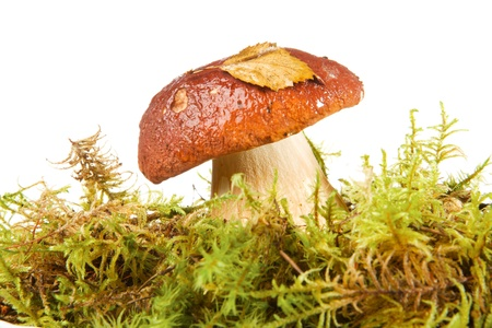 Photo of a fungus porcini   ( Boletus edulis mushroom. ) in green mosses on a white background. Studio isolation. Stock Photo - 12653112