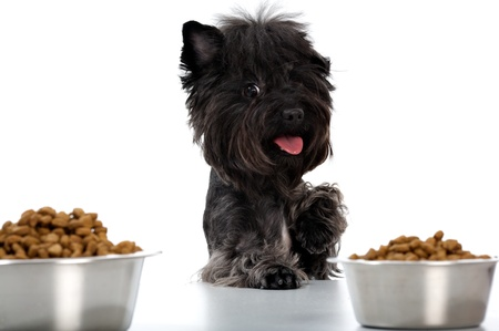 forage: The doggie looks on two bowls with meal  forage   Image isolated in my studio  Stock Photo