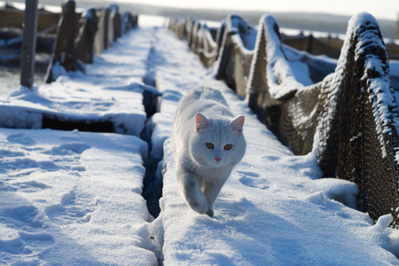 A white cat walking in the snow on a trout farm.