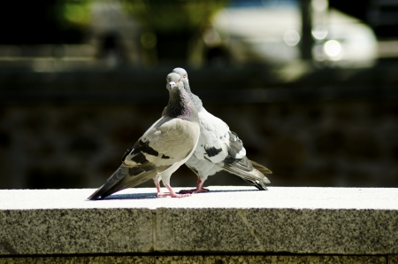 Two pigeons staring with an evil look photo