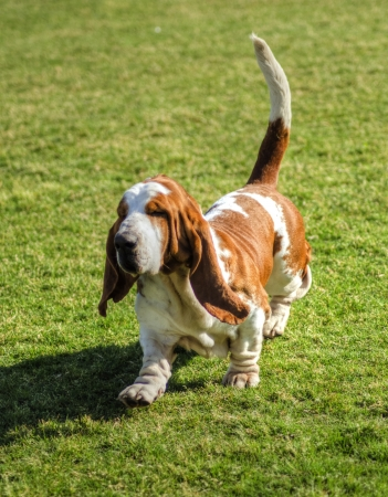 A beautiful, red and white Basset Hound dog.