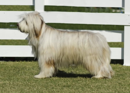 A beautiful white Briard dog standing on the lawn  This breed of dog was also famous for playing in Dennis the menace movie  Stock Photo - 20049756