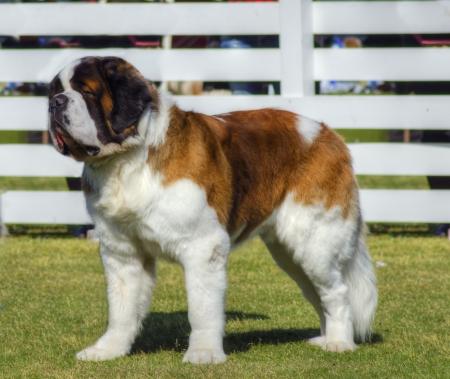 A profile view of a big beautiful brown and white Saint Bernard dog