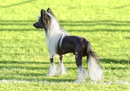 fluffy tuft: A small black and white hairless Chinese Crested dog