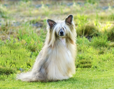 A small white Powderpuff Chinese Crested dog
