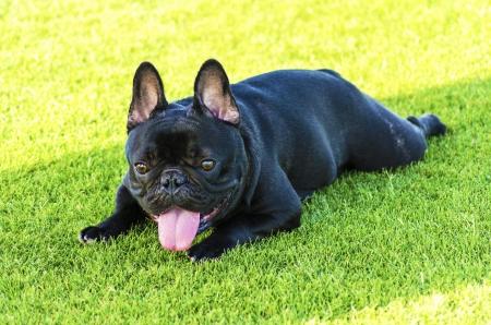 A small,young,beautiful,black French Bulldog Stock Photo