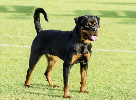 A Rottweiler standing on the lawn Stock Photo
