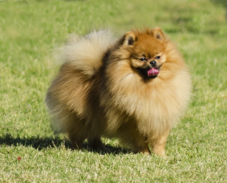 A small orange pomeranian dog standing on the grass and playfully sticking its tongue out. Stock Photo - 20141429