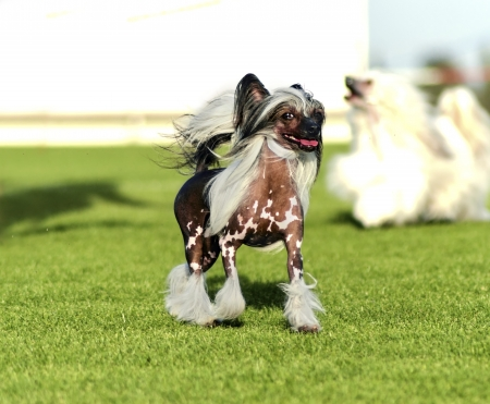 A small black and white hairless Chinese Crested dog standing on the lawn looking very elegant. The hairless breed is known for having only tufts of fur on their paws (socks) and tail (plume) and long, flowing hair on their head (crest). Stock Photo