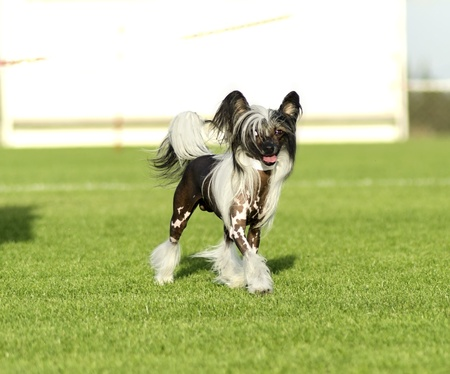 fluffy tuft: A small black and white hairless Chinese Crested dog standing on the lawn looking very elegant  The hairless breed is known for having only tufts of fur on their paws   socks   and tail   plume   and long, flowing hair on their head   crest    Stock Photo