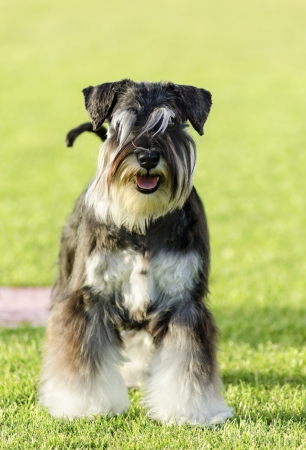 A small black and silver Miniature Schnauzer dog standing on the grass, looking very happy. It is known for being an intelligent, loving, and happy dog