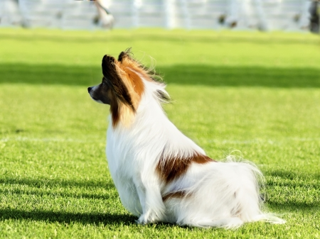 A small white and red papillon dog (aka Continental toy spaniel) standing on the grass looking very friendly and beautiful Stock Photo - 20169755