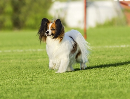A small white and red papillon dog (aka Continental toy spaniel) walking on the grass looking very friendly and beautiful