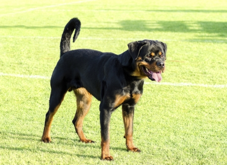 A healthy, robust and proudly looking Rottweiler standing on the lawn. Rotweillers are well known for being intelligent dogs and very good protectors. photo