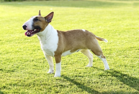A small, young, beautiful, red and white Bull terrier standing on the lawn looking playful and cheerful.