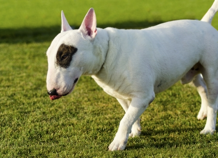 A small, young, beautiful, black and white Bull terrier standing on the lawn looking playful and cheerful while sticking its tongue out.