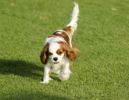 A small Blenheim Cavalier King Charles Spaniel walking on the grass looking very friendly and beautiful photo