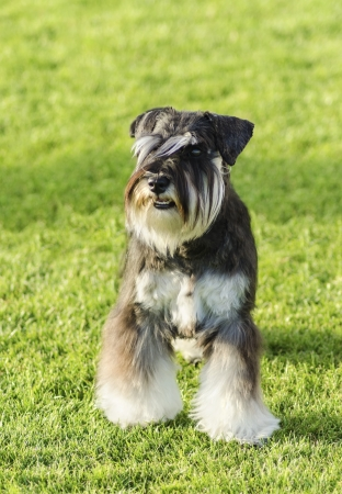 A small black and silver Miniature Schnauzer dog standing on the grass, looking very happy. It is known for being an intelligent, loving, and happy dog photo