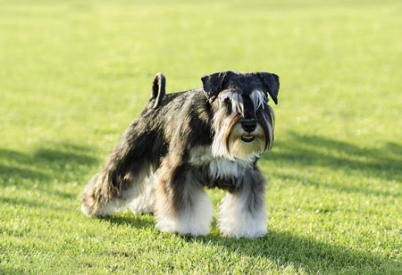 A small black and silver Miniature Schnauzer dog standing on the grass, looking very happy. It is known for being an intelligent, loving, and happy dog Stock Photo - 20464926