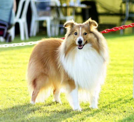 A young, beautiful, white and sable Shetland Sheepdog standing on the lawn looking happy and playful. Shetland Sheepdogs look like miniature collies and are known for being a very intelligent, obedient and loyal breed.