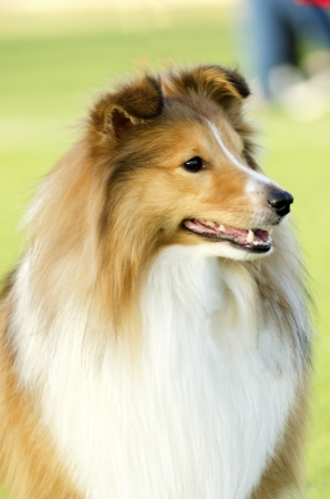 obedient: A young, beautiful, white and sable Shetland Sheepdog standing on the lawn looking happy and playful. Shetland Sheepdogs look like miniature collies and are known for being a very intelligent, obedient and loyal breed.