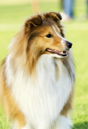 A young, beautiful, white and sable Shetland Sheepdog standing on the lawn looking happy and playful. Shetland Sheepdogs look like miniature collies and are known for being a very intelligent, obedient and loyal breed. Stock Photo - 20464942