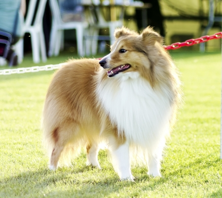 miniature collie: A young, beautiful, white and sable Shetland Sheepdog standing on the lawn looking happy and playful. Shetland Sheepdogs look like miniature collies and are known for being a very intelligent, obedient and loyal breed.