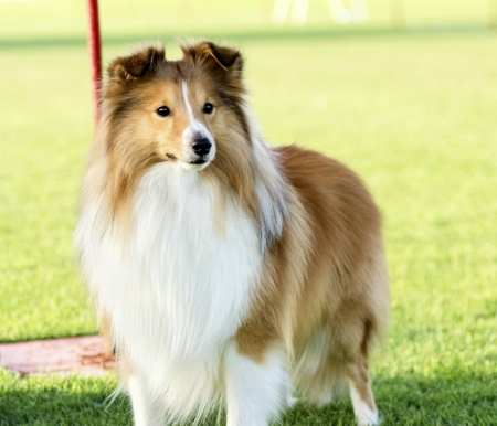 sable: A young, beautiful, white and sable Shetland Sheepdog standing on the lawn looking happy and playful. Shetland Sheepdogs look like miniature collies and are known for being a very intelligent, obedient and loyal breed.