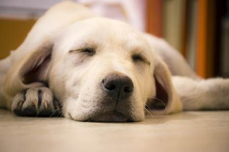 A young beautiful white labrador retriever sleeping looking very cute, soft and cuddly
