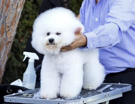 smoothen: A small beautiful and adorable white bichon frise dog being groomed by a professional groomer using special products and making its coat clean and fluffy. Stock Photo
