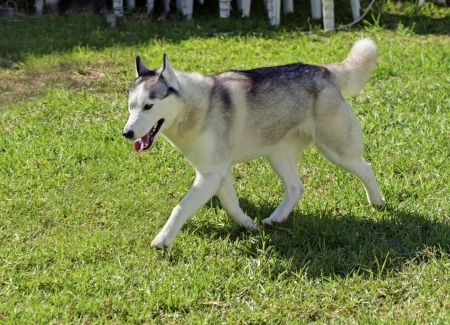 A young Siberian Husky dog walking on the lawn, known for their amazing endurance and willingness to work.They look like wolves photo