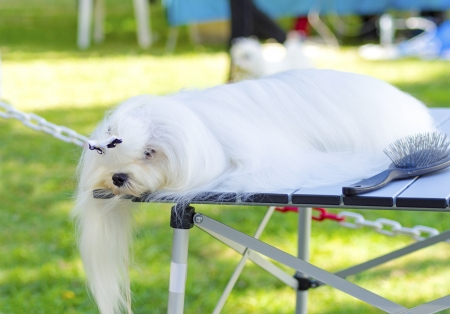 smoothen: A small beautiful and adorable white maltese dog sleeping after being groomed by a professional groomer untangling its coat and making it smooth and silky.