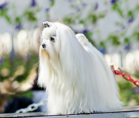 pure bred: A view of a small, young and beautiful Maltese show dog with long white coat standing. Maltese dogs have silky hair and are hypoallergenic.