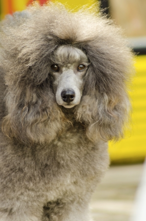 A close up of a small beautiful and adorable silver gray Miniature Poodle dog. Poodles are exceptionally intelligent usually equated to beauty, luxury and snobs. Stock Photo - 22873773