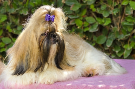 A small young light brown, balck and white tan Shih Tzu dog with a long silky coat sitting, having its head coat braided. photo