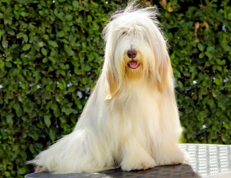 scottish collie: A young, happy, beautiful white fawn Bearded Collie sitting. Beardie dogs were used for herding, distinctive for their long straight coat. Stock Photo