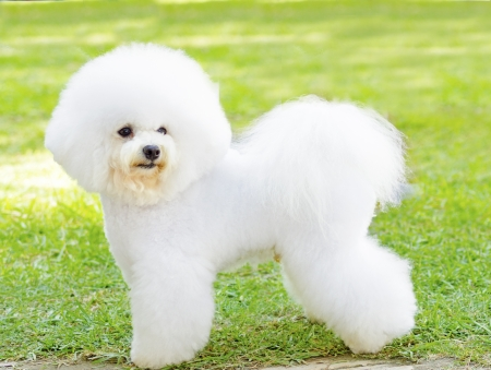 bichon: A small beautiful and adorable white fluffy bichon frise dog standing on the lawn and looking cheerful.