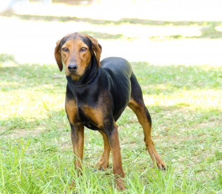 A young, beautiful, black and tan Hellinikos Inchnilatis dog standing on the lawn. The Greek harehound is a very rare breed, a scent hound dog for hunting hare.