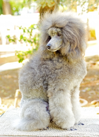 A close up of a small beautiful and adorable silver gray Miniature Poodle dog. Poodles are exceptionally intelligent usually equated to beauty, luxury and snobs. Banco de Imagens