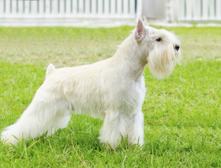 A small white salt Miniature Schnauzer dog standing on the grass, looking very happy. Distinctive for their beard and long, feathery eyebrows
