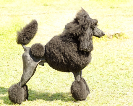 A close up of a small beautiful and adorable black Standard Poodle dog. Poodles are exceptionally intelligent usually equated to beauty, luxury and snobs. Stock Photo - 22996821