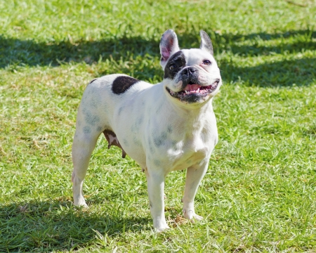 boston bull terrier: A small, young, beautiful, black and white Boston Terrier dog standing on the lawn, aka Boston Bull. Boston Terriers are highly intelligent and easily trainable.