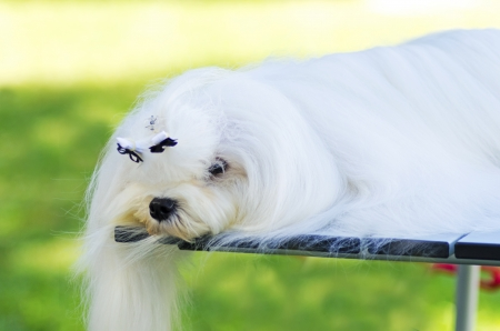 long silky hair: A view of a small, young and beautiful Maltese show dog with long white coat sleeping. Maltese dogs have silky hair and are hypoallergenic. Stock Photo